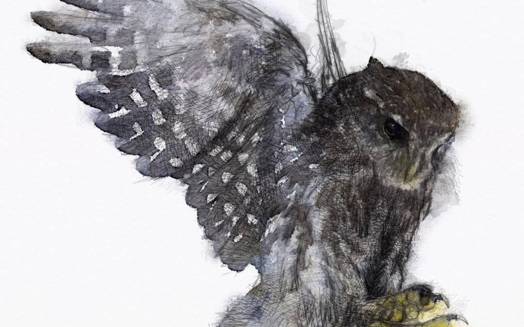 Tawny flight 600th sketch