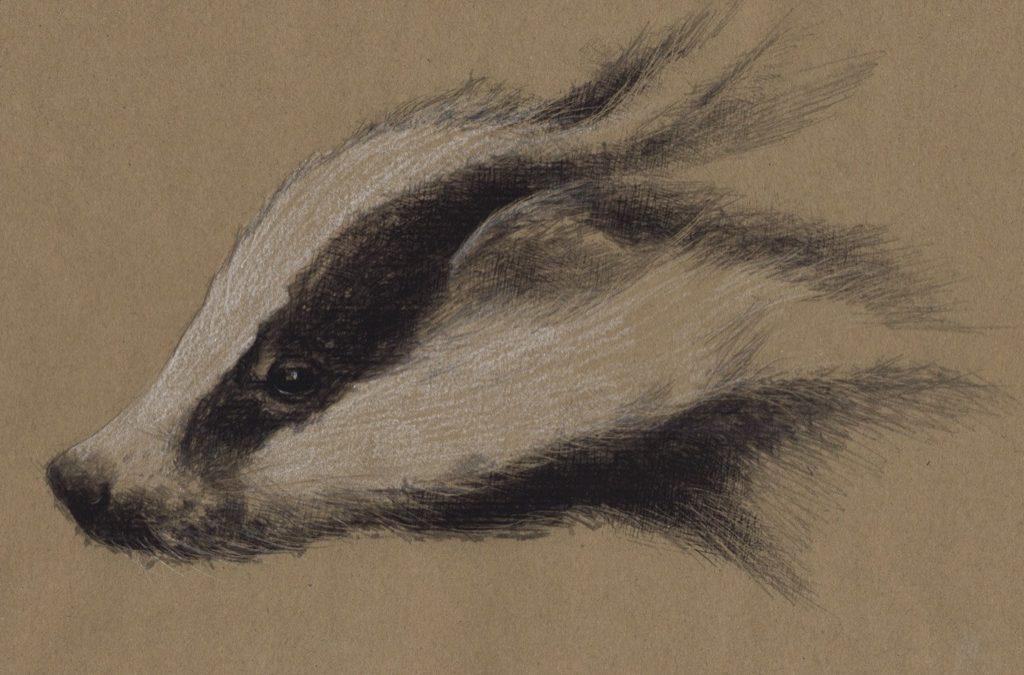 Badger sketch